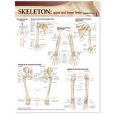 Lippincott Williams & Wilkins Atlas of Anatomy Skeletal System Chart: Upper and Lower Limbs